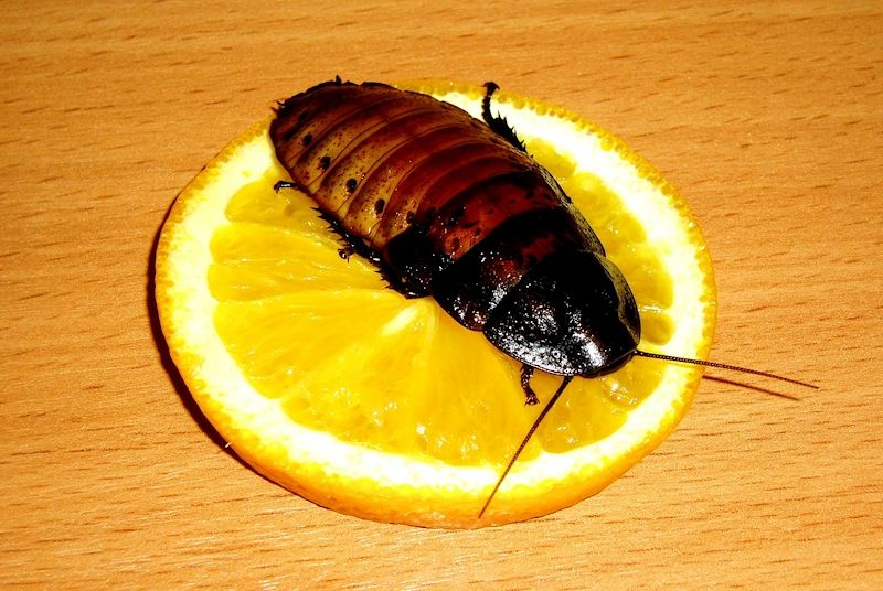 Уничтожение тараканов и клопов в Москве