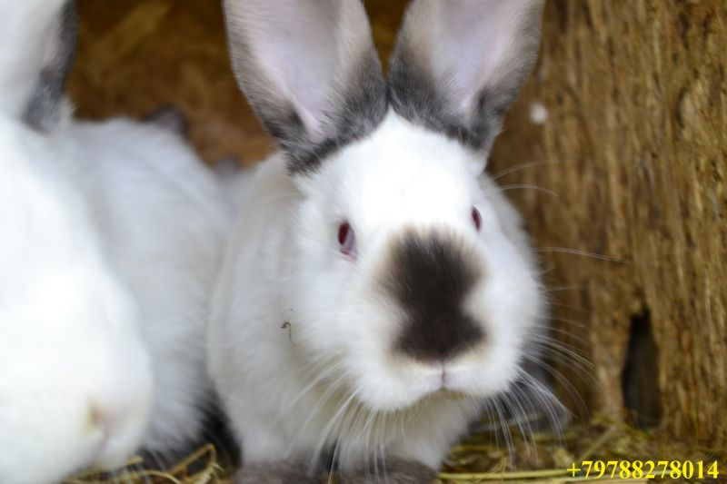Кролики на племя Крым, с. Голубинка